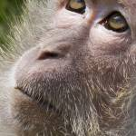 """pc2015 Crab Eating Macaque"" by loversdream"