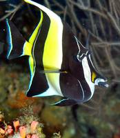 Moorish Idol Portrait
