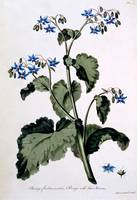 Borage with Blue Flowers