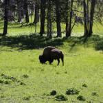 """Grazing Buffalo"" by Groecar"