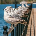 """seagull standing on rail"" by digidreamgrafix"