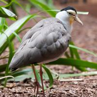 The Masked Lapwing (Vanellus miles),previously kno