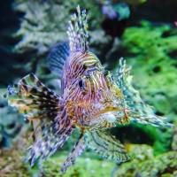 poisonous exotic zebra striped lion fish by Alexandr Grichenko
