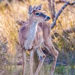 """white tail deer bambi in the wild"" by digidreamgrafix"