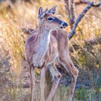 white tail deer bambi in the wild by Alexandr Grichenko