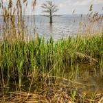 """nature around mattamuskeet lake north carolina"" by digidreamgrafix"