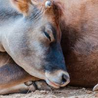 closeup of a sleeping cow at rest by Alexandr Grichenko