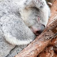 adorable koala bear taking a nap sleeping on a tre