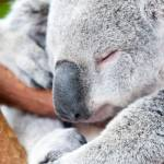 """adorable koala bear taking a nap sleeping on a tre"" by digidreamgrafix"