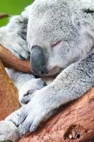 adorable koala bear taking a nap sleeping