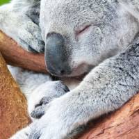 adorable koala bear taking a nap sleeping by Alexandr Grichenko