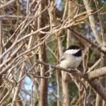 """Spring Chickadee"" by CynthiaHickman"