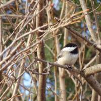 Spring Chickadee Art Prints & Posters by Cynthia Hickman