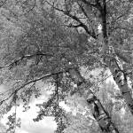 """Storm over the Cottonwood Trees - Black and White"" by Groecar"
