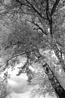 Storm over the Cottonwood Trees - Black and White