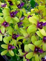 Dendrobiam Orchids