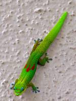 God Dust Day gecko