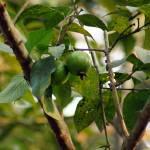 """Guava"" by AlamgirKhan"