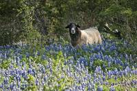 Outstanding in Bluebonnets