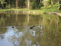 Ducks on the lake in the country Brazil