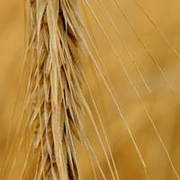 Detail view of wheat spike