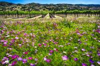 Napa Valley Wildflowers And Grapevines