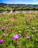 Spring Wildflowers Of Napa Valley