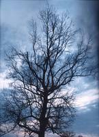 An Oak Tree On A Cloudy Day