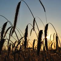 Wheat field with spike silhouettes at sunset