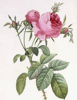 Rosa centifolia foliacea (hundred leaved/petaled r