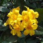 """Yellow Rhododendron"" by FantaSeaArt"