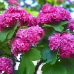 """""""Spring Flowering Tree"""" by vpicks"""