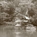 """Take Off , Botanic Garden Swan LakeSingapore, B/W"" by sghomedeco"