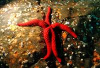 The Ballet Dancer Seastar