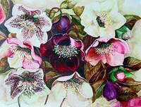 MIXED HELEBORES
