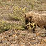 """Grizzly and Flowers, Denali"" by AFSmith"