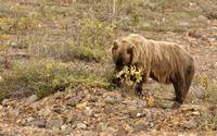 Grizzly and Flowers, Denali