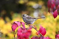 White-throated Sparrow on Winged Burning Bush