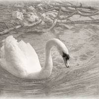 White Swan Art Prints & Posters by Barbara Zuzevich