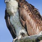 """Osprey Closeup"" by DBenoit"