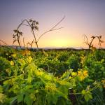 """Vineyard"" by marcutti"