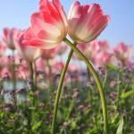 """""""Tulip"""" by marcutti"""