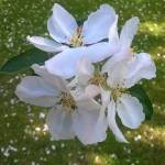 """""""Blossom"""" by Jurchx"""