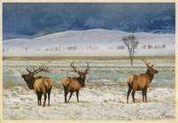 3 elk out on the refuge.