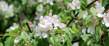 Crab Apple Blossom and Bee