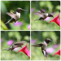 Hummingbird Collage