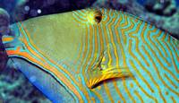 Green Triggerfish