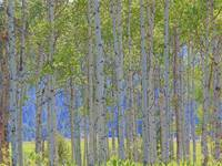 Display Of Aspen In Spring Colours