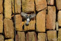 Pigeon Nesting in the Cracks
