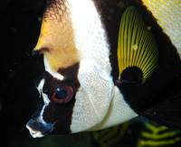Butterflyfish Snout